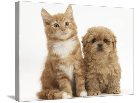 Peekapoo Puppy and Ginger Kitten-Mark Taylor-Stretched Canvas Print
