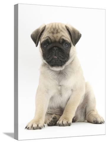 Fawn Pug Puppy, 8 Weeks, Sitting-Mark Taylor-Stretched Canvas Print