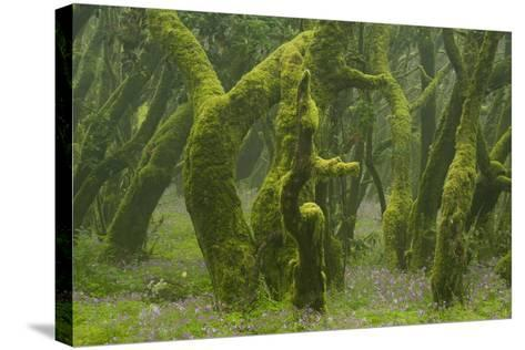 Laurisilva Forest, Laurus Azorica Among Other Trees, Garajonay Np, La Gomera, Canary Islands, Spain-Relanz?n-Stretched Canvas Print