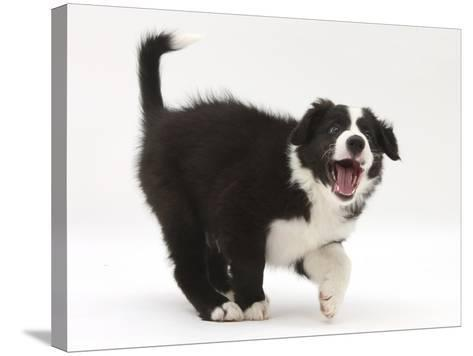 Black-And-White Border Collie Puppy Barking-Mark Taylor-Stretched Canvas Print