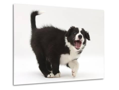 Black-And-White Border Collie Puppy Barking-Mark Taylor-Metal Print
