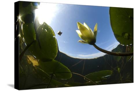 White Water Lily (Nymphea Alba) in Flower, Viewed from Below the Surface, Lake Skadar Np, Montengro-Radisics-Stretched Canvas Print