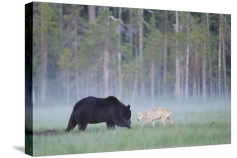 European Grey Wolf (Canis Lupus) Interacting with European Brown Bear (Ursus Arctos) Kuhmo, Finland-Widstrand-Stretched Canvas Print