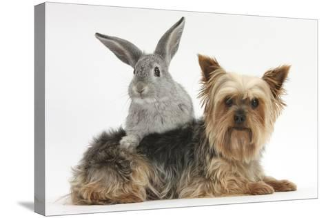 Yorkshire Terrier and Young Silver Rabbit-Mark Taylor-Stretched Canvas Print