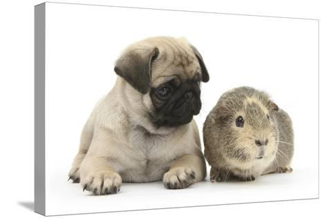 Fawn Pug Puppy, 8 Weeks, and Guinea Pig-Mark Taylor-Stretched Canvas Print