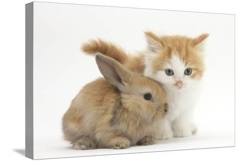 Ginger-And-White Kitten Baby Rabbit-Mark Taylor-Stretched Canvas Print