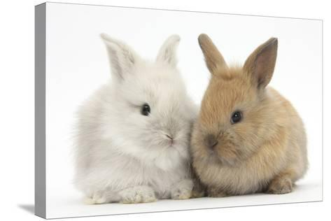 Two Baby Lionhead Cross Lop Bunnies-Mark Taylor-Stretched Canvas Print