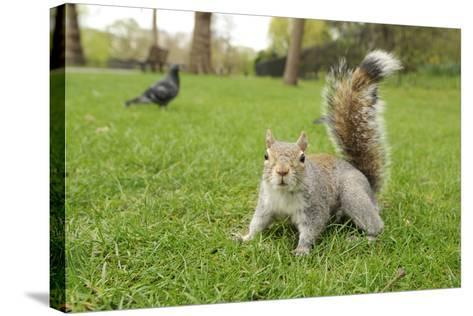 Grey Squirrel (Sciurus Carolinensis) on Grass in Parkland, Regent's Park, London, UK, April 2011-Terry Whittaker-Stretched Canvas Print
