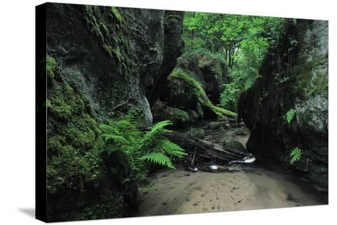 Halerbach - Haupeschbach Flowing Between Moss Covered Rocks with Ferns (Dryopteris Sp.) Luxembourg- Tønning-Stretched Canvas Print