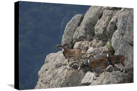 Mouflon (Ovis Musimon) Males on Rock Face, Parc Naturel Regional Du Haut-Languedoc, Caroux, France- Arndt-Stretched Canvas Print