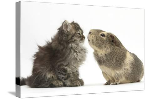 Tabby Kitten, 10 Weeks, with Guinea Pig-Mark Taylor-Stretched Canvas Print