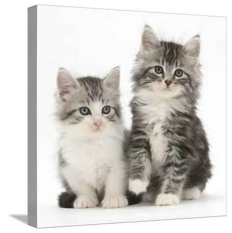Two Maine Coon-Cross Kittens, 7 Weeks-Mark Taylor-Stretched Canvas Print