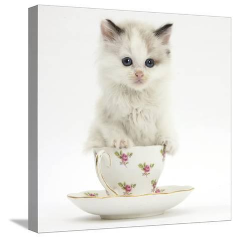 Colourpoint Kitten in a Tea Cup-Mark Taylor-Stretched Canvas Print