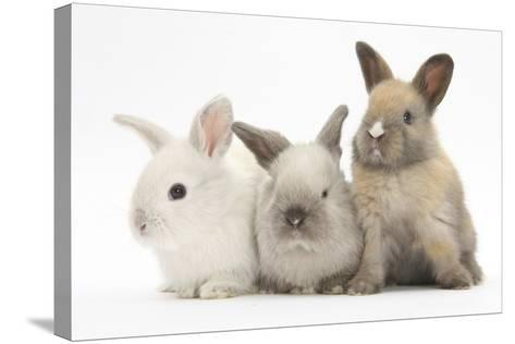 Three Baby Rabbits-Mark Taylor-Stretched Canvas Print
