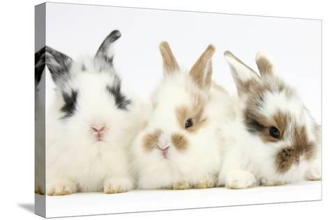 Three Cute Baby Bunnies Sitting Together-Mark Taylor-Stretched Canvas Print