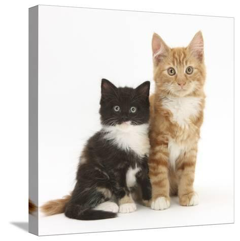 Ginger and Black-And-White Kittens-Mark Taylor-Stretched Canvas Print