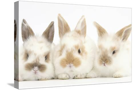 Three Cute Baby Rabbits in a Row-Mark Taylor-Stretched Canvas Print