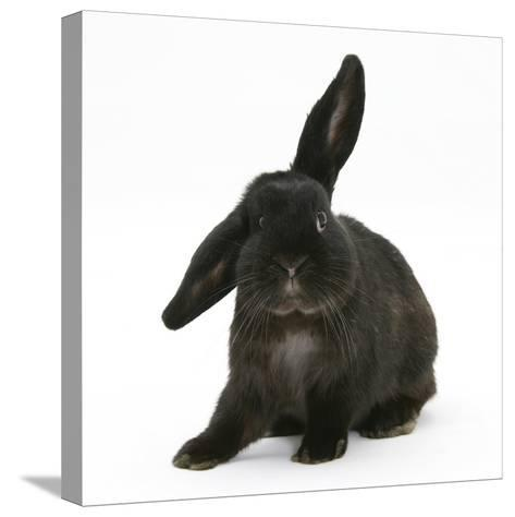 Black Rabbit with Windmill Ears-Mark Taylor-Stretched Canvas Print