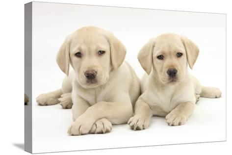 Yellow Labrador Retriever Puppies, 9 Weeks-Mark Taylor-Stretched Canvas Print