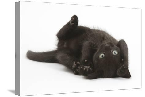 Black Kitten, 7 Weeks, Rolling on its Back-Mark Taylor-Stretched Canvas Print