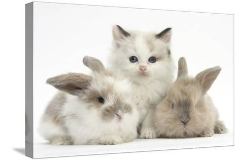 Colourpoint Kitten with Two Baby Rabbits-Mark Taylor-Stretched Canvas Print