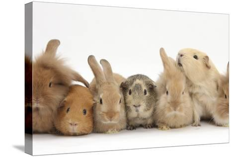 Assorted Sandy Rabbits and Guinea Pigs-Mark Taylor-Stretched Canvas Print