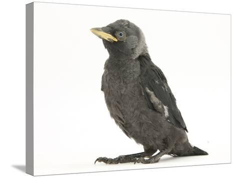 Baby Jackdaw (Corvus Monedula)-Mark Taylor-Stretched Canvas Print