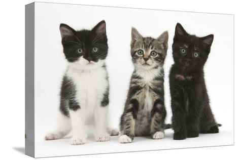 Portraits of Three Kittens-Mark Taylor-Stretched Canvas Print