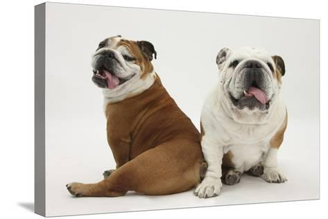 Two Bulldogs, Back to Back-Mark Taylor-Stretched Canvas Print