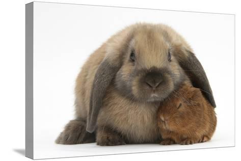 Baby Guinea Pig and Rabbit-Mark Taylor-Stretched Canvas Print