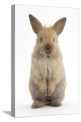 Baby Lionhead Cross Lop Rabbit, Standing-Mark Taylor-Stretched Canvas Print