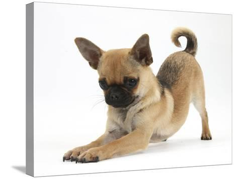 Chug (Pug X Chihuahua) Bitch in Play-Bow-Mark Taylor-Stretched Canvas Print