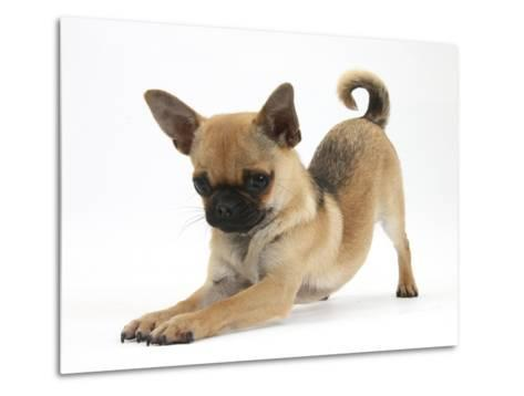 Chug (Pug X Chihuahua) Bitch in Play-Bow-Mark Taylor-Metal Print