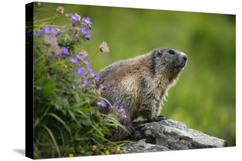 Alpine Marmot (Marmota Marmota) Hohe Tauern National Park, Austria, July 2008-Lesniewski-Stretched Canvas Print