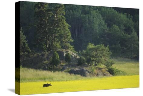 Female European Moose (Alces Alces) in Flowering Field, Elk, Morko, Sormland, Sweden, July 2009-Widstrand-Stretched Canvas Print