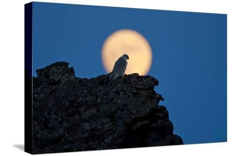 Gyrfalcon (Falco Rusticolus) Silhouetted at Full Moon, Myvatn, Thingeyjarsyslur, Iceland, April-Bergmann-Stretched Canvas Print