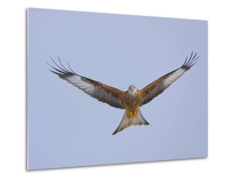 Red Kite (Milvus Milvus) in Flight, Gigrin Farm, Powys, Rhayader, Wales, UK, February 2009-Mu?oz-Metal Print