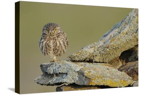 Little Owl (Athene Noctua) on Rock, La Serena, Extremadura, Spain, April 2009-Widstrand-Stretched Canvas Print