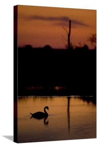 Mute Swan (Cygnus Olor) Adult Silhouetted on Lake at Sunset, Oostvaardersplassen, Netherlands-Hamblin-Stretched Canvas Print