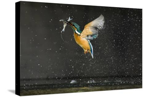 Kingfisher (Alcedo Atthis) in Flight Carrying Fish, Balatonfuzfo, Hungary, January 2009-Nov?k-Stretched Canvas Print