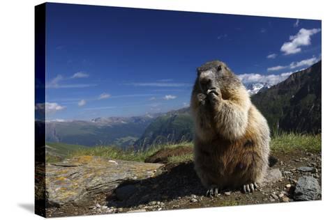 Alpine Marmot (Marmota Marmota) Feeding, Hohe Tauern National Park, Austria, July 2008-Lesniewski-Stretched Canvas Print