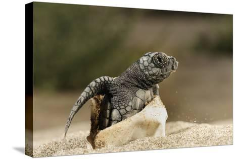 Loggerhead Turtle (Caretta Caretta) Hatching, Dalyan Delta, Turkey, July 2009-Zankl-Stretched Canvas Print