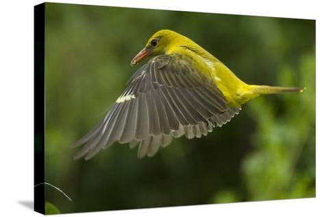 Golden Oriole (Oriolus Oriolus) Female in Flight to Nest, Bulgaria, May 2008-Nill-Stretched Canvas Print