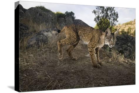 Wild Iberian Lynx (Lynx Pardinus) Male, Sierra De And?jar Np, Spain, Critically Endangered-Oxford-Stretched Canvas Print