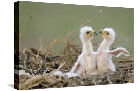 Two Steppe Eagle (Aquila Nipalensis) Chicks in their Nest. Cherniye Zemli Nr, Kalmykia, Russia- Shpilenok-Stretched Canvas Print