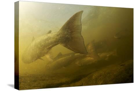Atlantic Salmon (Salmo Salar) Migrating Upstream to Spawn, Ume?lven, Sweden, July 2009- Roggo-Stretched Canvas Print