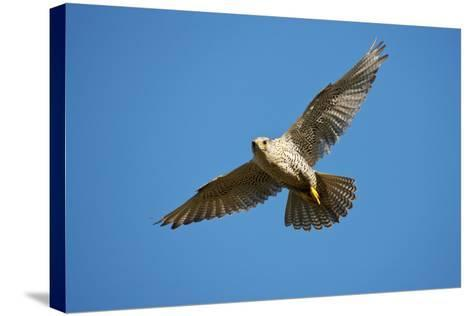 Gyrfalcon (Falco Rusticolus) in Flight, Thingeyjarsyslur, Iceland, June 2009-Bergmann-Stretched Canvas Print