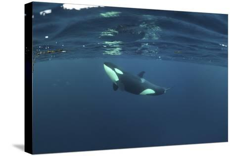 Killer Whale - Orca (Orcinus Orca) Just Below the Surface, Kristiansund, Nordmøre, Norway-Aukan-Stretched Canvas Print