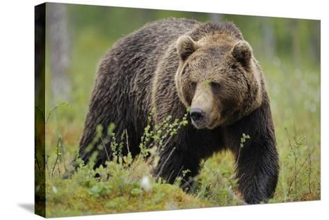 Eurasian Brown Bear Portrait (Ursus Arctos) Suomussalmi, Finland, July 2008-Widstrand-Stretched Canvas Print