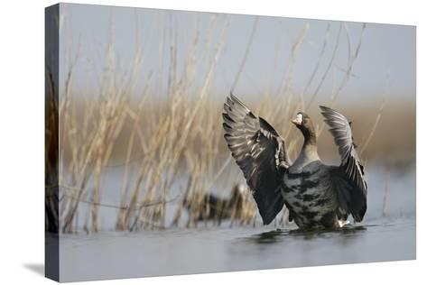 White Fronted Goose (Anser Albifrons) Flapping Wings, Durankulak Lake, Bulgaria, February 2009-Presti-Stretched Canvas Print